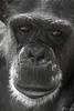 Eyes - window to the soul (Benedikt Filip) Tags: freihand dunkel teleobjektiv badenwürttemberg tierwelt monochrom deutschland portrait ausschnitt affe zoo einfarbig tier natur lowkey affen alemania allemagne closeup doitsu dégúo germania germany gesicht menschenaffe nahaufnahme schnappschuss schwarzweis animal anthropoid ape black blackwhite bw character dark face freehand masvoll monkey nature schwach schwarz simian sw telephotolens visage wildlife ドイツ 德國德国 heidelberg de