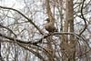 Mallard (Jens Hyldstrup Larsen) Tags: gråand mallard anasplatyrhynchos anseriformes andefugle anatidae egentligeandefugle