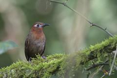 Song Wren (fernaabs) Tags: song wren cyphorhinus phaeocephalus soterrey canoro passeriformes troglodytidae aves fernaabs burgalin avesdecostarica