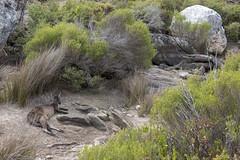 Flinders Chase - Kangaroo Island - Australia (wietsej) Tags: flinders chase kangaroo island australia rx10 iv rx10m4 sony nature animal
