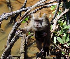 The Mother (Khaled M. K. HEGAZY) Tags: nikon coolpix p520 malaysia langkawi kilimgeoforestpark nature outdoor closeup animal monkey child trees water green brown white black
