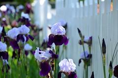 Inman Park Irises (Krasivaya Liza) Tags: inmanpark inman park atl atlanta ga georgia city festival neighborhood cityscape tour tourofhomes fence friday fencefriday fridays fences