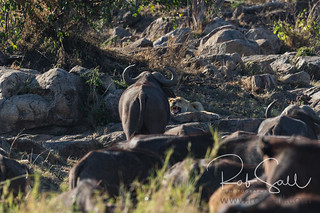 Cape Buffalo Taunting the Female at Nap Time