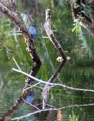 BH 3 19 18LO-0092 (Mary D'Elia) Tags: bird bonnethouse florida ftlauderdale greenheron nature reflection travel wadingbird water wildlife
