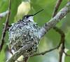 Hummers on the Way (Mark Schocken) Tags: markschocken rubythroatedhummingbird bird nest archilochuscolubris