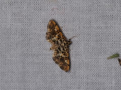 Lamprosema sp. (dhobern) Tags: 2018 china lepidoptera march xtbg xishuangbanna yunnan crambidae spilomelinae lamprosema