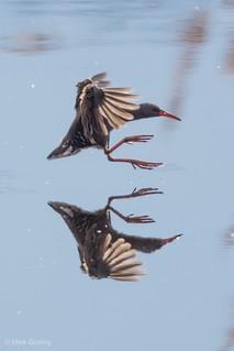 Water rail landing reflection