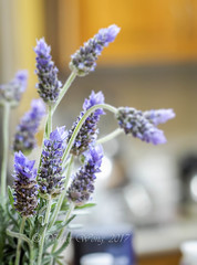 Fresh sprigs of lavender flowers form an interior decor of a room (Victor Wong (sfe-co2)) Tags: aroma aromatherapy aromatic art atmosphere background beauty bloom blossom botany bouquet bunch calm decor decoration design flora floral flower fragrance fresh garland greeting health herb herbal home interior inviting isolated label lavandula lavender lilac medicinal mood natural pattern perfume plant provence purple relaxation romantic scent spring summer violet wedding wreath macro