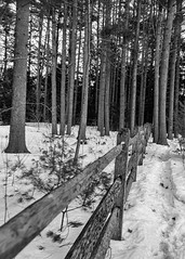 Into The Woods (Me in ME) Tags: brunswick maine winter snow pines trees splitrail fence hff