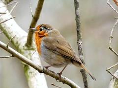 Robin (Deanne Wildsmith) Tags: earthnaturelife staffordshire fradleynaturecentre robin