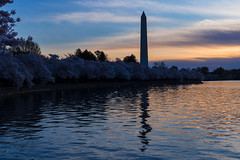 Washington Monument at dawn amid cherry trees (out stealing pictures) Tags: cherryblossoms japanesecherrytrees washingtonmonument water dawn washingtondc canon6d canonusa canon beautifulplanet preciousplanet preciousmoments getoutthere justgoshoot landscape landscapehunter