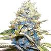 skywalker-og-seeds-fem-1_large (Watcher1999) Tags: skywalker og kush cannabis seeds medical growing plant marijuana weed weeds ganja smoking