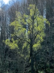 Backlighted Leaf Out (esywlkr) Tags: nature tree green woods forest haywoodcounty northcarolina