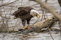 Bald eagle with catch (sniggie) Tags: haliaeetusleucocephalus kentucky spencercounty taylorsvillelake baldeagle catch fish flood highwater