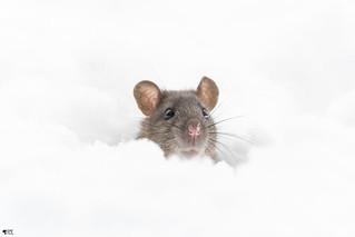 ''Ratatouille!'' Souris grise