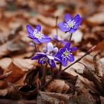 Hepatica nobilis 2018 thumbnail