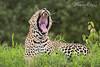Leopard (Vinaya Mohan) Tags: leopard bigcat cat bigcats bbctravel bbcwild bbcwildlifephotography nikon natgeo nature natgeowild ngwild natgeoyourshot predator masaimara kenya wild wildanimal wildlife wildplanet wildlifeaddict