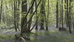 Balade en forêt ***-- ----° (Titole) Tags: forest wood bluebells titole nicolefaton light sunlight mist thechallengefactory storybookwinner challengegamewinner