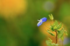 Veronica (josuneetxebarriaesparta) Tags: veronica flora lora natura flor naturaleza naturalworld planta makro macro
