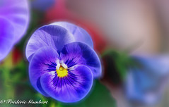 Spring Thoughts (frederic.gombert) Tags: pansy color colors blue light sun sunlight colorful garden macro red purple nikon spring