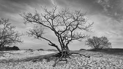 Tree in the middle (Ivan van Nek) Tags: bergennh bergen thenetherlands nederland noordholland blackandwhite nb noiretblanc schwarzweis monochrome zwartwit landscape duinen tree boom arbre zand sand