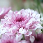 Chrysanthemum thumbnail