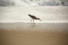 Spotted Sandpiper (SeannPatrickPhotography) Tags: outerbanks coast atlantic northcarolina nc obx beach midatlantic ocean