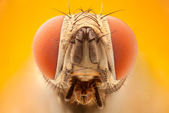 Compound eyes (zgrkrmblr) Tags: macro macrophotography bug focusstack sony a7 newport433 manfrotto410 manfrotto357 berlebach tripod sunwayfoto arthropoda insect böcek makro sinek asahipentaxautobellowsm studiostack lomo8x020namicroscopelens fly diptera compoundeyes entomology microscopy