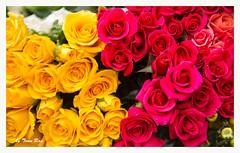 SHF_6417_Rose (Tuan Râu) Tags: 1dmarkiii 14mm 100mm 135mm 1d 1dx 2470mm 2018 50mm 70200mm canon canon1d canoneos1dmarkiii canoneos1dx flowers rose hoa hoahồng hanoi tuanrau tuan tuấnrâu2018 râu httpswwwfacebookcomrautuan71