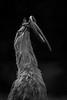 Seriama with snake (ToriAndrewsPhotography) Tags: seriama secretary bird south america photography andrews tori