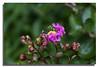 Crepe Myrtle Flower (Bear Dale) Tags: red crepe myrtle flowering ulladulla new south wales australia nikon d850 nikkor afs 70200mm f28e fl ed vr bear dale buds