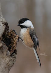 Hungry Visitor (Rainfire Photography) Tags: bird nature wildlife blackcappedchickadee ajax lyndeshores perched nikon d7200