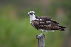 _RDX6060.jpg (rdelonga) Tags: pandionhaliaetus osprey