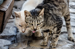 Prrrblrbr (LynxDaemon) Tags: cats friends tongue grimace water cobblestone street stray cute pets feline