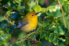 Prothonotary Warbler (PeterBrannon) Tags: bird florida fortdesoto migration nature pinellascounty prothonotarywarbler protonotariacitrea tampa wildlife yellowbird