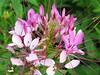 Bauhinia purpurea (lesterpearce) Tags: india kaziranga assam