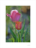 Printemps (E. Pardo) Tags: primavera spring frühling flores flowers blumen tulpen tulipanes tulips colores colors farben luz licht light belleza beauty schönheit admontabbey abadíaadmont admontstiftskirche admont steiermark austria
