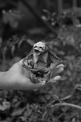 Chimpancé (Jose_Herrera_B) Tags: origami origamidesign origamiart origamisculpture origamimodel chimp paperfolding papiroflexia paperart paper pattern peligro endangeredspecies design chimpancé joseherrera joseherreraorigami origamilatinoamericano