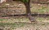 Perdiu roja (José Manuel, thanks for +450,000 views) Tags: llacunesdemonral perdiuroja perdizroja alectorisrufa redleggedpartridge aves aus ocells birds oiseaux sigma150500