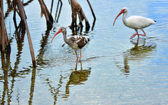 Birds 49 (orientalizing) Tags: animals birds brackish coast desktop everglades evergladesnationalpark featured florida floridakeys keylargo keys mangroveswamp usa whiteibis