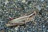 Red-legged Grasshopper (ctberney) Tags: redleggedgrasshopper melanoplusfemurrubrum shorthorned grasshopper acrididae insect nature