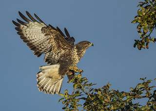 Buzzard - More than just an efficient raptor