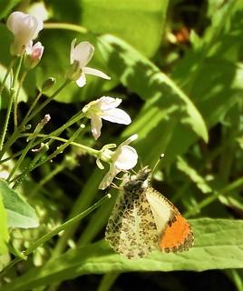 Sara Orange-Tip Butterfly