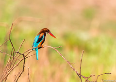 White throated kingfisher (Mohsan Raza Ali Baloch) Tags: nikon d500 200500mm