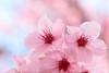sakura macro (* Yumi *) Tags: sakura macro flower 桜 陽光 城山かたくりの里