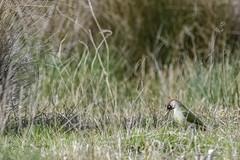 Pic vert.. (denis.loyaux) Tags: europeangreenwoodpecker france picvert picidés piciformes picusviridis bird oiseau