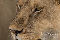 Lion Closeup (robsall) Tags: 2016 500mm 7dmark2 7dmarkii 7dm2 7dmii africa africatourism africawildlifephotography africanwildlife big bigcat bigcats canon canon500mmf4lisiiusm canon500mmf4 canon500mmf4lii canon500mmf4ii canon7dmark2 canon7dmarkii canon7d2 canon7dm2 canoneos canoneos7dmark2 canoneos7dm2 carnivore cat endangered family feline largefelines lion lioness lions mammal pantheraleo predator robsallaeiral robsalldrone robsalldronephotography robsallphotography robsallwildlifephotography tanzania tanzania2016 vacation vulnerable mararegion