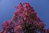 Florettseidenbaum (Ceiba speciosa); Monchique, Algarve (47) (Chironius) Tags: lagos portugal algarve monchique baum bäume tree trees arbre дерево árbol arbres деревья árboles albero árvore ağaç boom träd rosa blüte blossom flower fleur flor fiore blüten цветок цветение rosids malvids malvales malvenartige malvaceae malvengewächse wollbaumgewächse bombacoideae