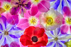 Flower Friends (Harold Davis) Tags: poppy papaver papavernudicaule clematis iris tulip pink red blue