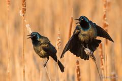 I can outsing you... (Earl Reinink) Tags: bird wildlife nature spring swamp marsh water blackbird bullrush singing grackle commongrackle earl reinink earlreinink niagara aoodudhdza wings